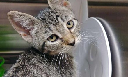 Osceola Animal Services Seeing Large Number of Kittens Needing Homes