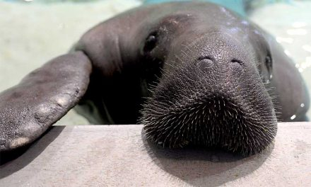 World's Oldest Manatee Dies, Death Still Under Investigation