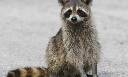 Raccoon Knocks Out Power to 5,200 in Kissimmee