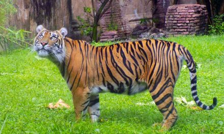 Disney Announces Sumatran Tiger Cubs Will Be Born at Disney's Animal Kingdom