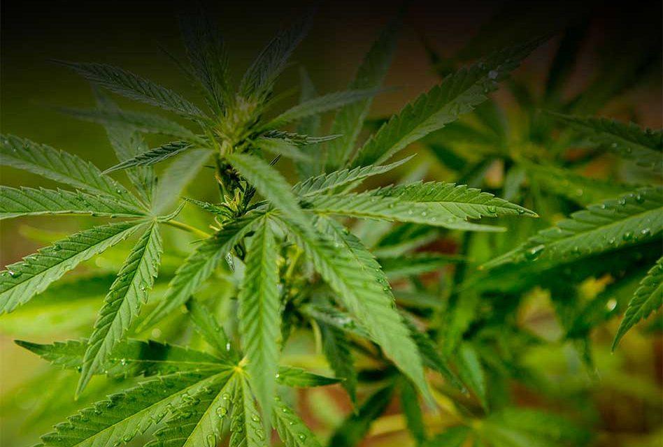 Three Medical Marijuana Dispensaries Approved by Osceola County