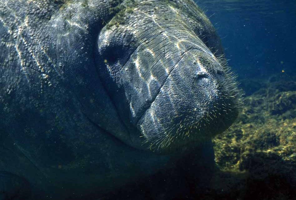 Colder Temperatures Pose Great Dangers for Florida Manatees