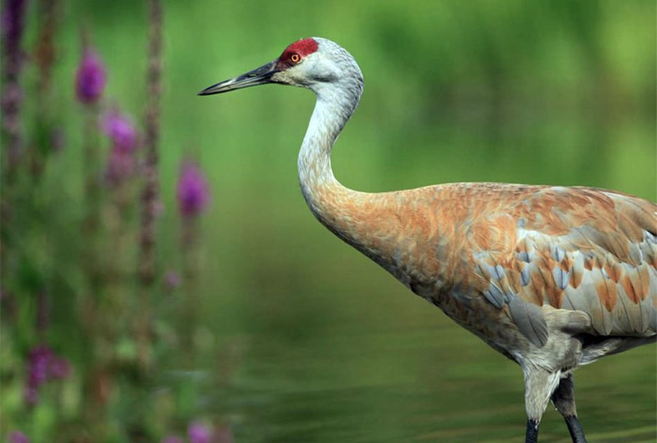 The Sandhill Crane is Designated as the Official Bird of St. Cloud