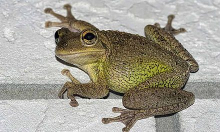 Cuban Tree Frog Knocks Out Power in Kissimmee Early Friday Morning