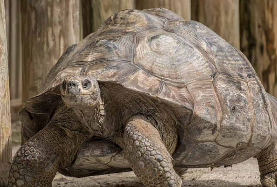 Celebrate World Turtle Day May 23 With Visit To Gatorland Home To Three Of The Largest Tortoise Species In The World