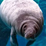 2020 was a tough year for Manatees, still threatened as 2021 begins