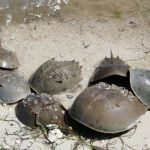FWC Encourages Beachgoers to Report Horseshoe Crab Spawning Sightings