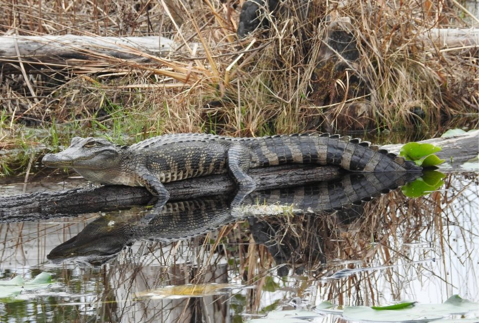 FWC Shares Tips on Living with Alligators During Warmer Weather