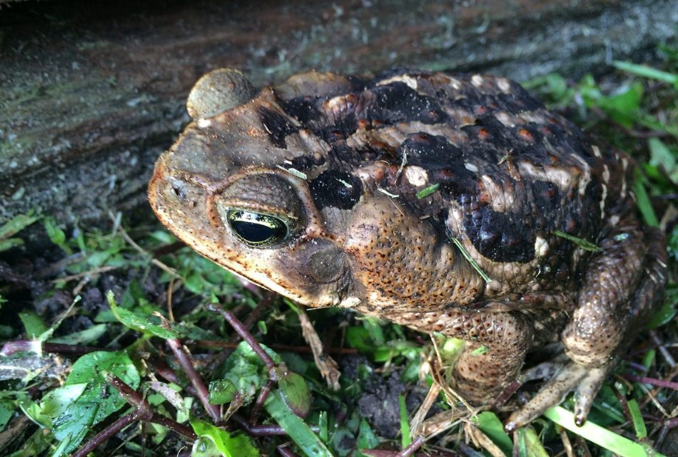 FWC Reminds Pet Owners to Keep An Eye Out for Invasive Cane Toads