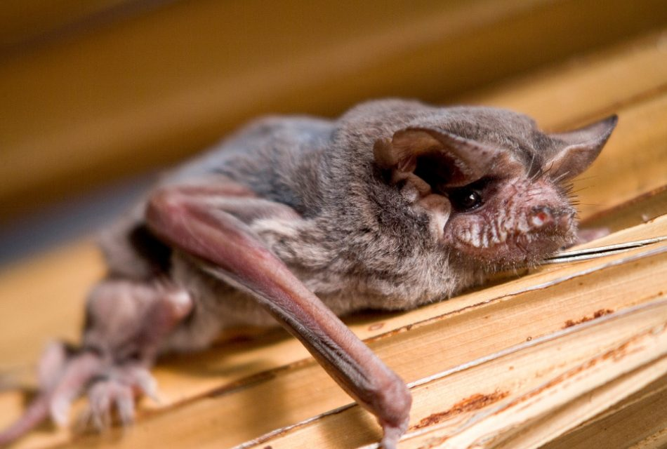 Bat Maternity Season Starts April 15 According to Florida Fish and Wildlife Conservation Commission