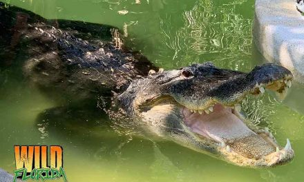 Wild Florida to Provide FREE Admission During Gator Week May 6th-11th