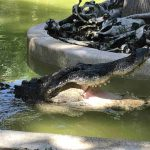 Wild Florida celebrates 10 years of adventure with free weekday Gator Park admission