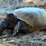 Help Protect Gopher Tortoises by Celebrating Gopher Tortoise Day on April 10th