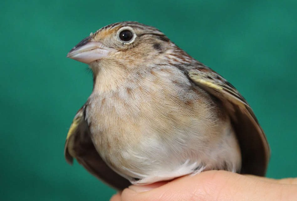 Florida Grasshopper Sparrows to be Released on Public Lands in Osceola County
