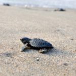 Lights Out During Sea Turtle Nesting and Hatching Season