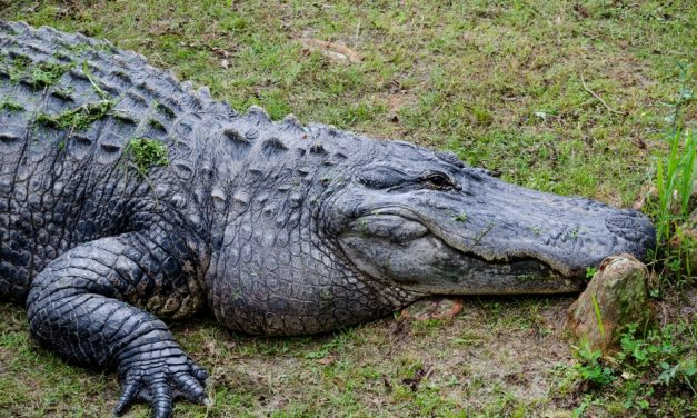 Phase 1 Application Period For Alligator Harvest Permits Runs May 17th – 27th, says FWC