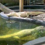 Wild Florida Celebrates World's First Successful Albino Alligator Breeding Program