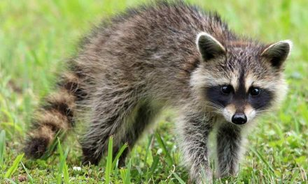 Raccoon Tests Positive for Rabies, Health Officials Issue Rabies Alert