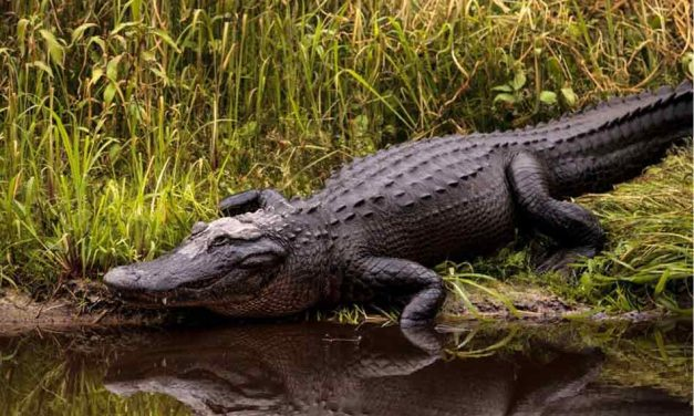 What you need to know about applying for alligator harvest permits