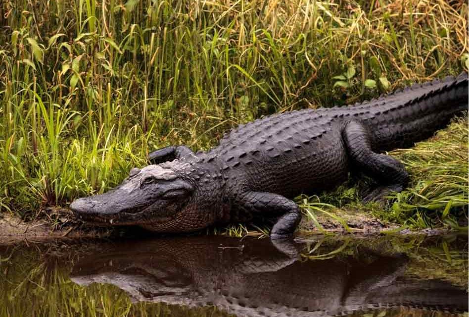 First-come, First Served Alligator Permits Available Now in Florida