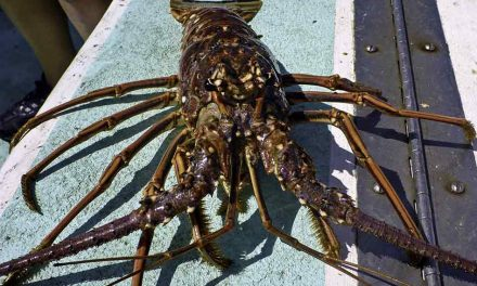 Commercial Spiny Lobster Trap Soak Begins in Florida and Federal Waters