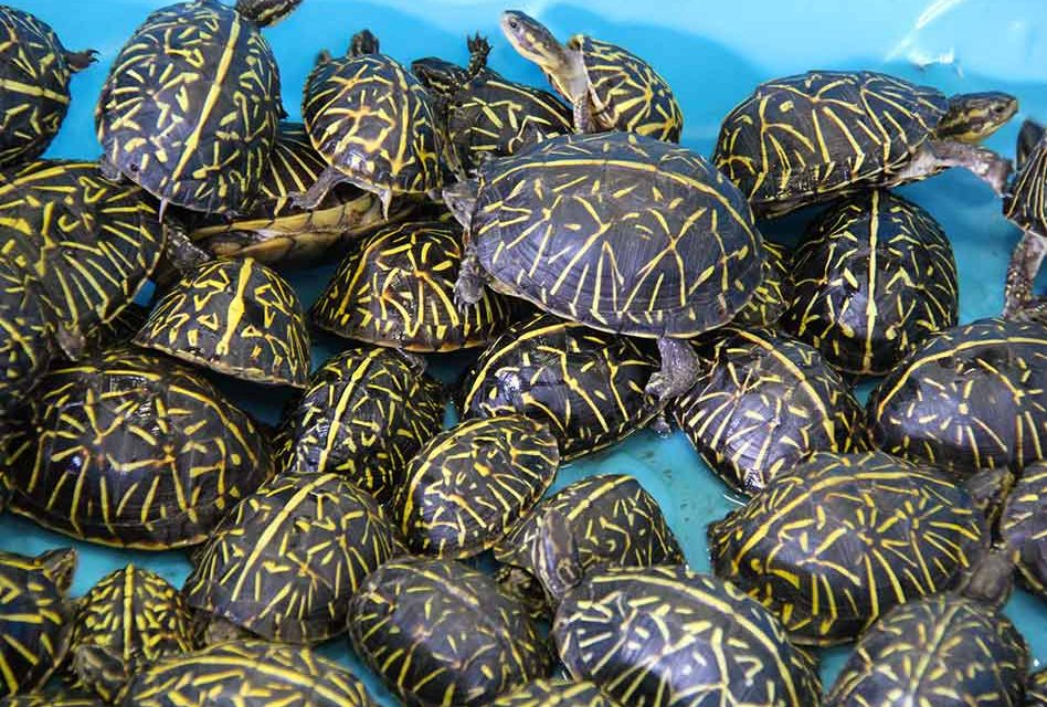 Wildlife trafficking ring arrested for smuggling thousands of turtles, turtles returned to wild
