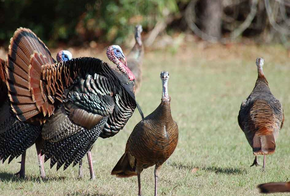 How about trying wild turkey for Thanksgiving dinner?