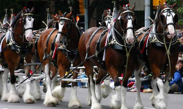 Come see the Budweiser Clydesdales in Kissimmee, St. Cloud Jan. 1-2