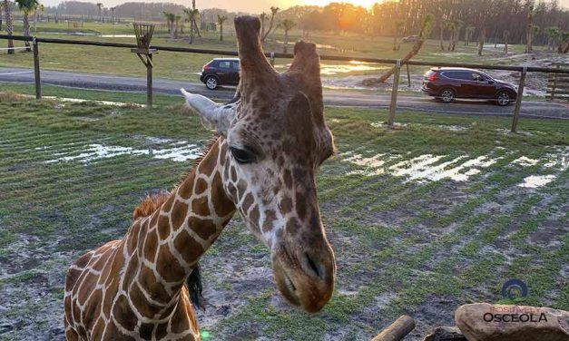 It's Time to Name the Wild Florida Safari Park Giraffe! Submit the name you like and win!