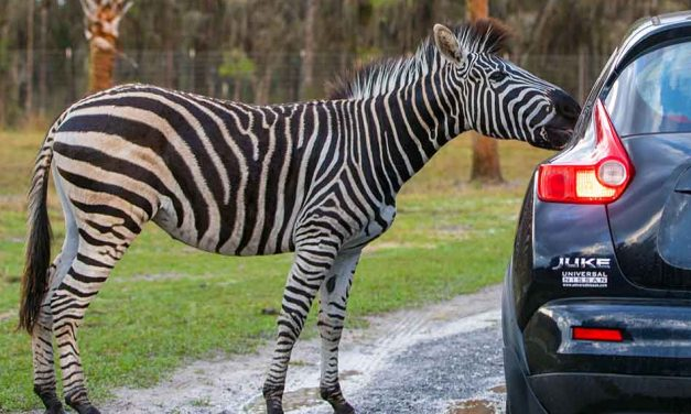 The wait is over — Wild Florida's Drive-Thru Safari Park opens this weekend