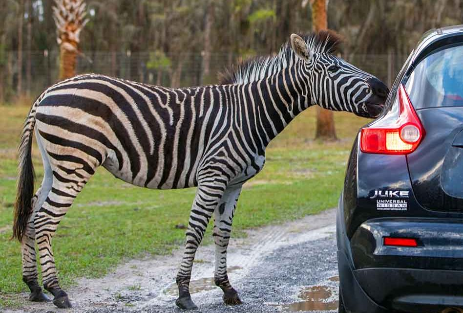 Wild Florida's Drive-Thru Safari Park awaits our return to nature and wildlife