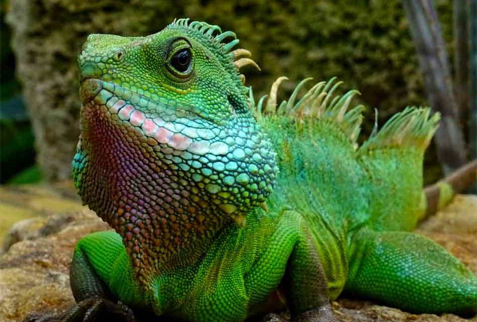 Falling Iguana alert in Florida? It must be cold again!