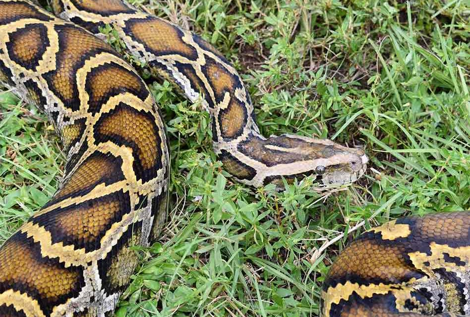 2020 Florida Python Bowl nets 80 snakes for cash prizes in Everglades
