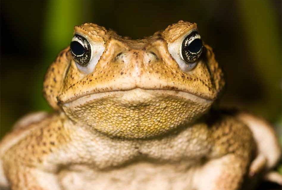 Invasive toxic cane toads pose a risk to your pets — so watch the lawn