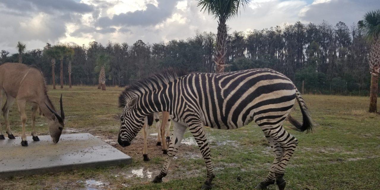 Wild Florida's Drive-through safari open, but rest will close Monday due to COVID-19