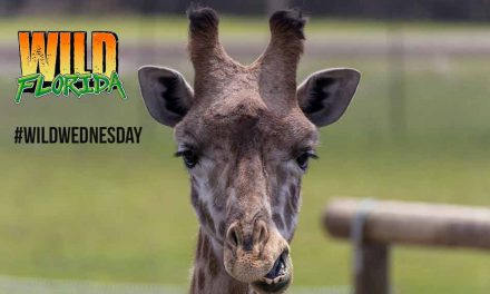 "Wild Florida is making our Wednesdays Wild again with an amazing ""Wild"" listening Adventure!"