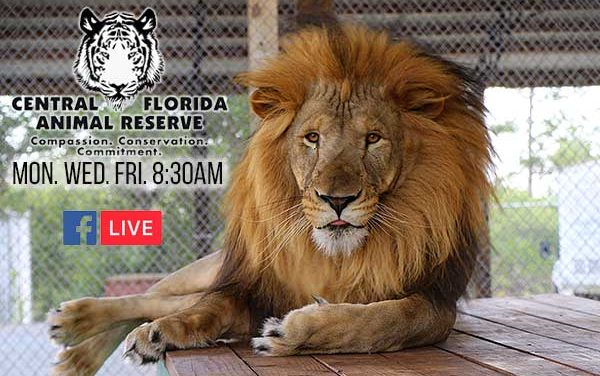 Central Florida Animal Reserve launches mini-educational video series featuring Tigers, Lions, Leopards, and Cougars!