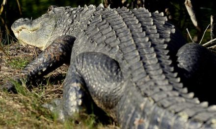 Celebrate Gator Week with Wild Florida June 8-13; see which front-line workers can get in FREE!