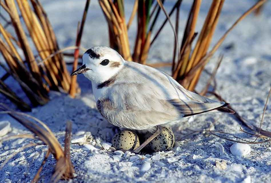 It's beach nesting season for Florida's waterbirds. Learn how you can help