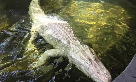 Wild Florida starts Gator Week with rare albino eggs; what's next this week?