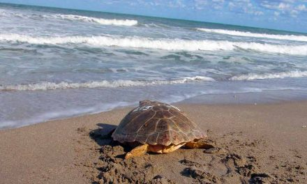 It's Sea Turtle nesting season, and they need our help at the beach