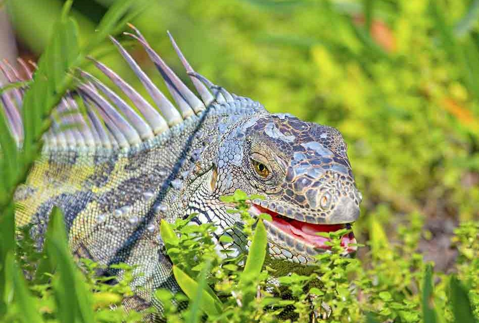Florida Fish and Wildlife Conservation Commission requesting public feedback on invasive reptiles rules