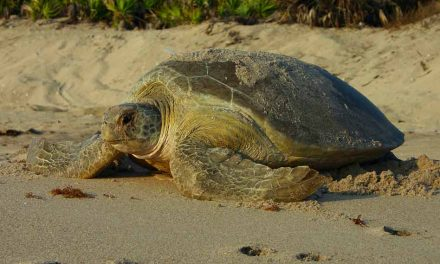Help sea turtles survive during nesting season:  FWC offers tips on helping hatchlings