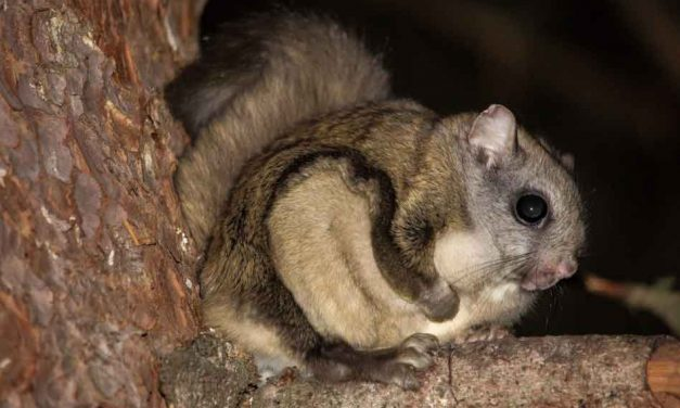 Seven arrested in smuggling ring that funneled thousands of Florida flying squirrels into South Korea