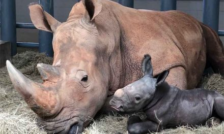 Disney's white Rhino Kendi gives birth to a beautiful bouncing 140 lb. boy