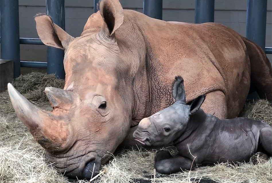 Disney's white Rhino Kendi gives birth to a beautiful bouncing 140 lb. boy