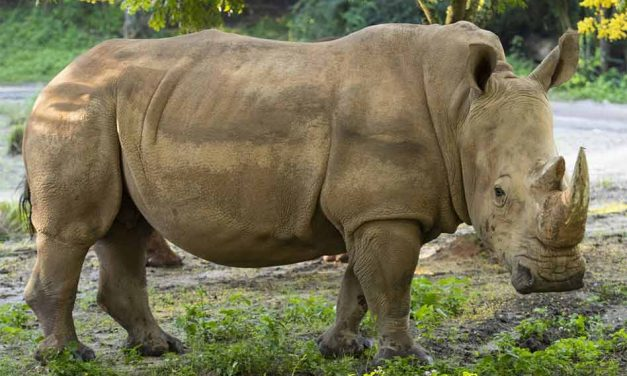 Disney's Animal Kingdom expecting three baby rhinoceroses