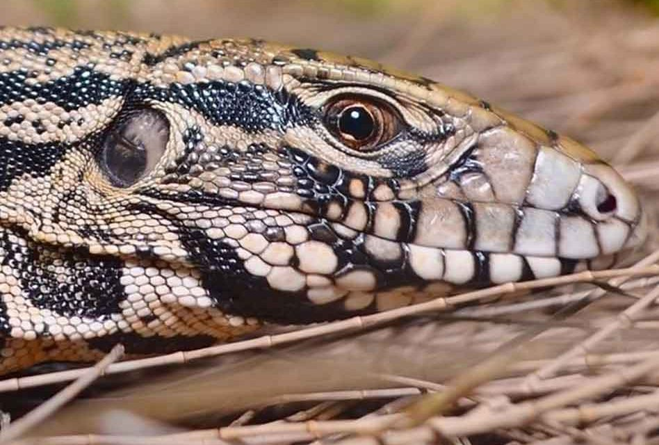 Argentine black and white tegus are nonnative to Florida, but they're here – and not welcome!