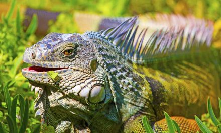 FWC approves rule changes to help protect Florida from 16 high-risk invasive reptiles