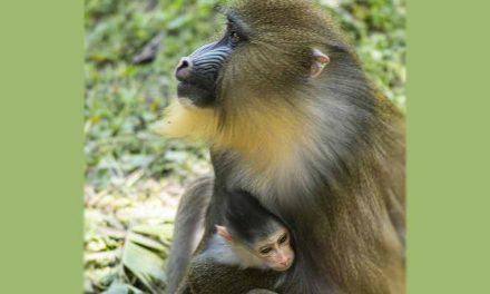 Baby Mandrill Ivy, Born at Disney's Animal Kingdom Theme Park